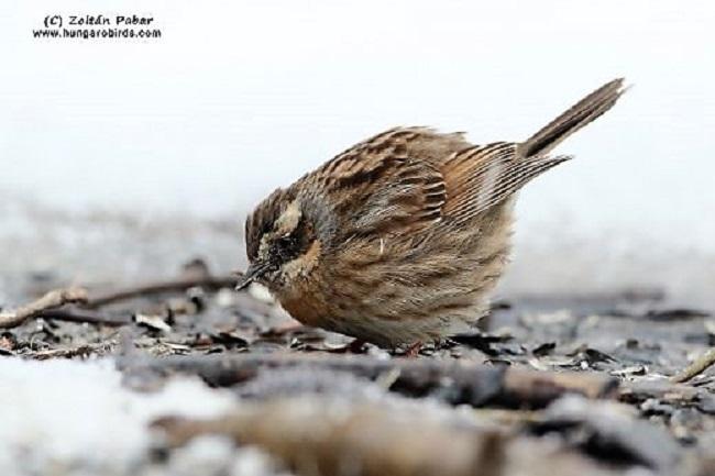 Új madárfaj Magyarországon