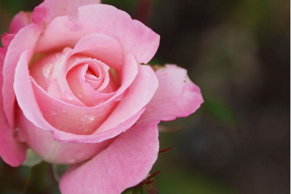 A rózsa és az eper közeli rokonok