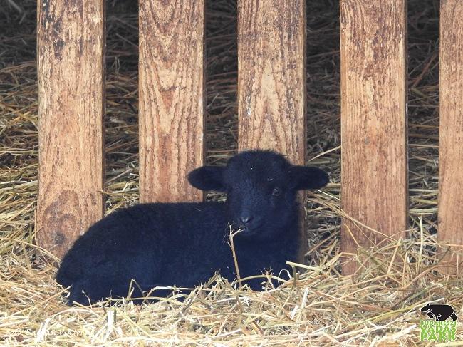 Bolyhos bárányok születtek a Budakeszi Vadasparkban
