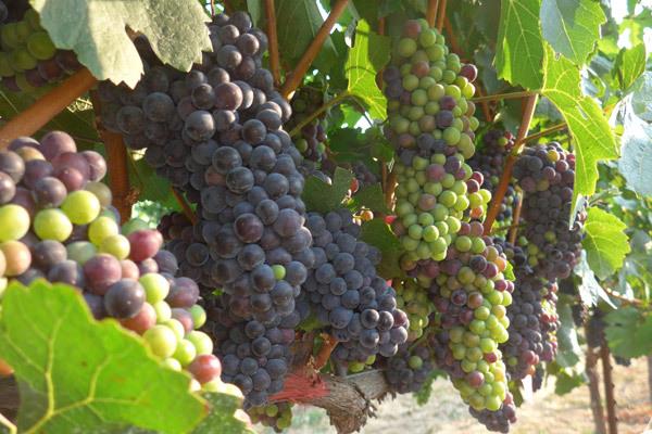 Veszélyben a spanyol borok