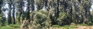 Ismét idős erdőt vágtak ki Tiszaugnál
