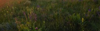 Őshonos gyepi élőhelyek védelme Pest-megyében