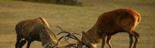 Szarvasbőgés-túrák a Pilisi Parkerdőben