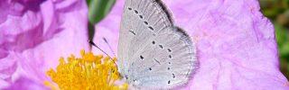 Felfedték egy pillangófaj színváltoztatásának okát