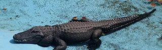 Belgrádban él a világ legidősebb aligátora