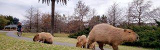 Visszahódítják élőhelyüket a vízidisznók Argentínában