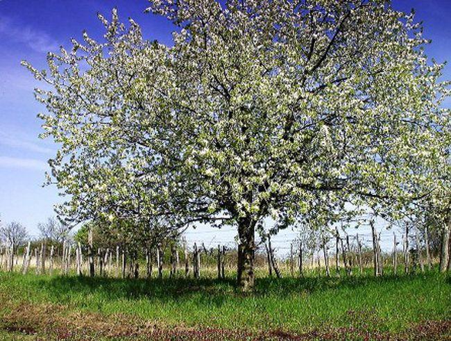 cseresznye fa ok